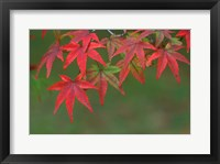 Framed Maple Leaves, Kyoto, Japan