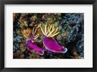Framed Pair of Nudibranch Kapalai Island, Malaysia