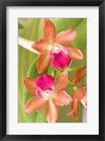 Framed Orchid Blooms in the Spring, Thailand
