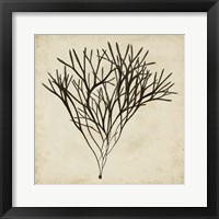 Framed Vintage Seaweed V