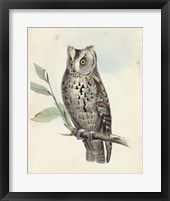 Framed Meyer Scops-Eared Owl