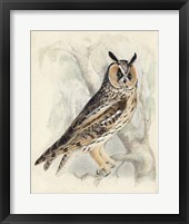 Framed Meyer Long-Eared Owl