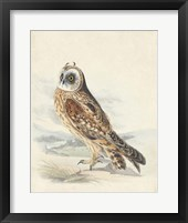 Framed Meyer Hawk Owl