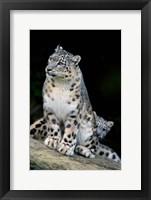 Framed Snow Leopard, Uncia uncia, Panthera uncia, Asia