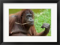 Framed Bornean Orangutan, adult female, Borneo