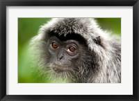 Framed Silver Leaf Monkey, Borneo, Malaysia