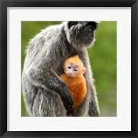 Framed Silver Leaf Monkey and offspring, Borneo, Malaysia
