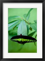 Framed Rajah Brooke's Birdwing, Malaysia's national butterfly