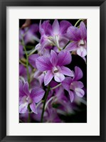 Framed Singapore. National Orchid Garden - Purple/White Orchids