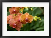 Framed Singapore. National Orchid Garden - Peach Orchids
