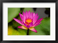 Framed Single magenta water lily at the Orchid Garden at Lake Gardens Park in Kuala Lumpur Malaysia