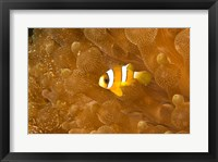 Framed Clark's Anemonefish, Puerto Gallera, Philippines