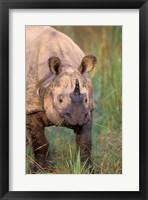 Framed Asia, Nepal, Royal Chitwan NP. Indian rhinoceros