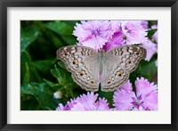 Framed Thailand, Khon Kaen, grey Pansy butterfly