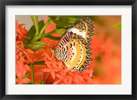 Framed Thailand, Nam Nao NP, Leopard Lacewing butterfly