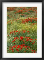 Framed Red Poppy Field in Central Turkey during springtime bloom