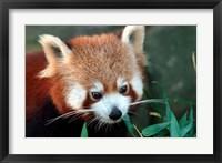 Framed Red Panda, Taronga Zoo, Sydney, Australia