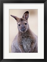 Framed Close up of Red-necked and Bennett's Wallaby wildlife, Australia