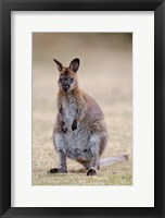Framed Red-necked and Bennett's Wallaby wildlife, Australia