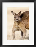 Framed Eastern Grey Kangaroo portrait