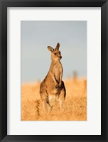 Framed Eastern Grey Kangaroo portrait during sunset