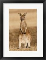 Framed Eastern Grey Kangaroo portrait frontal