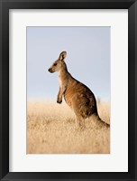 Framed Eastern Grey Kangaroo portrait lateral view