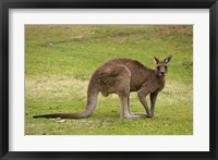 Framed Kangaroo, Trial Bay, New South Wales, Australia