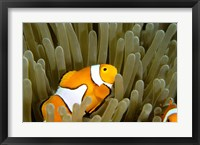 Framed Australia, Great Barrier Reef, Clown fish