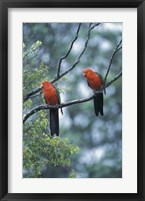 Framed Male Australian King Parrots, Queensland, Australia