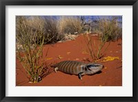 Framed Blue-tongued Skink lizard, Ayers Rock, Australia