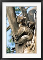 Framed Mother and Baby Koala on Blue Gum, Kangaroo Island, Australia