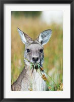 Framed Eastern grey kangaroo eating, Australia