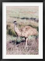 Framed Emu wildlife, Australia