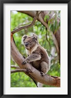 Framed Koala wildlife in tree, Australia