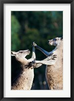 Framed Pair of Eastern grey kangaroo, Australia