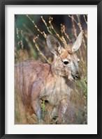 Framed Red kangaroo (Macropus rufus), Australia