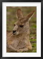 Framed Eastern Grey Kangaroo resting, Queensland, Australia