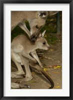 Framed Eastern Grey Kangaroo with baby, Queensland AUSTRALIA