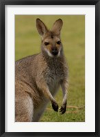 Framed Pretty-faced Wallaby wildlife, AUSTRALIA