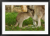 Framed Australia, Queensland, Eastern Grey Kangaroo and joey