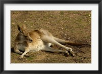 Framed Eastern Grey Kangaroo, Queensland AUSTRALIA