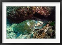 Framed Loggerhead Turtle, Stradbroke Queensland, Australia