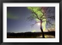 Framed Aurora Borealis with Tree and Pleiades, Yukon, Canada