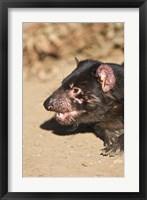 Framed Head of Tasmanian Devil