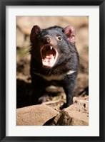 Framed Angry Tasmanian Devil