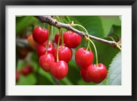 Framed Cherries, Orchard near Cromwell, Central Otago, South Island, New Zealand