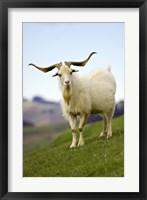 Framed Goat, Taieri, near Dunedin, South Island, New Zealand