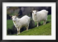 Framed Pair of Goats, Taieri, South Island, New Zealand