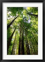 Framed Redwood Forest, Rotorua, New Zealand